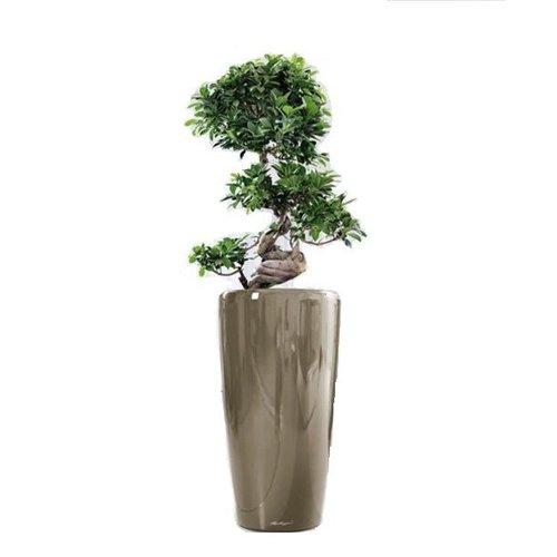 Bonsai s vorm incl pot gratis thuisbezorgd fleurdirect for Grote planten voor binnen