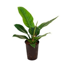 Hydroplant Philodendron imperial green