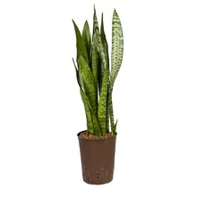 Hydroplant Sansevieria zeylanica
