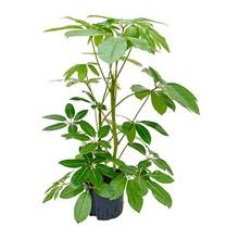 Hydroplant Schefflera amate