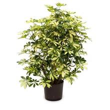 Hydroplant Schefflera trinette