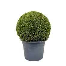 Buxus sempervirens L