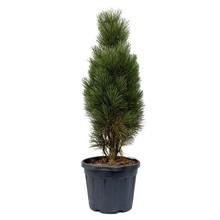 Pinus Naaldboom Tower