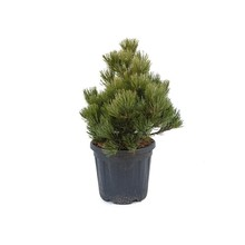 Pinus Naaldboom Compact S