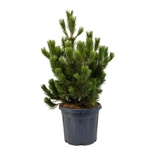 Pinus Naaldboom Compact M