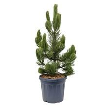 Pinus Heldreichii Satellit L