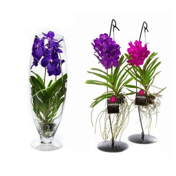 vanda orchidee bestel online fleurdirect. Black Bedroom Furniture Sets. Home Design Ideas