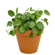 Pilea in Terra Cotta pot