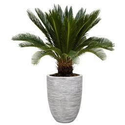 Cycas Revoluta In Capi pot