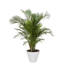Elho Goudpalm Areca In Elho Urban Pot (Wheels)