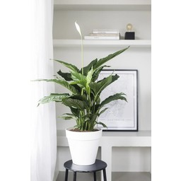 Lepelplant In Elho Urban Pot