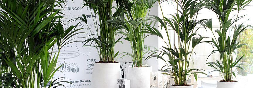 Verschillende palmsoorten voor in huis