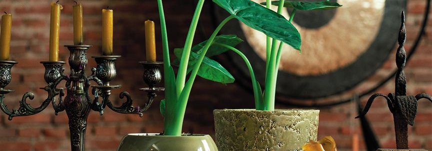 Alocasia is woonplant van de maand september