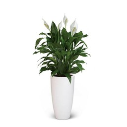 Lepelplant large in Elho pot