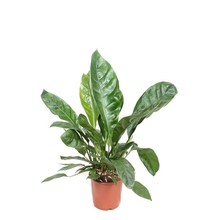 Anthurium jungle king Large