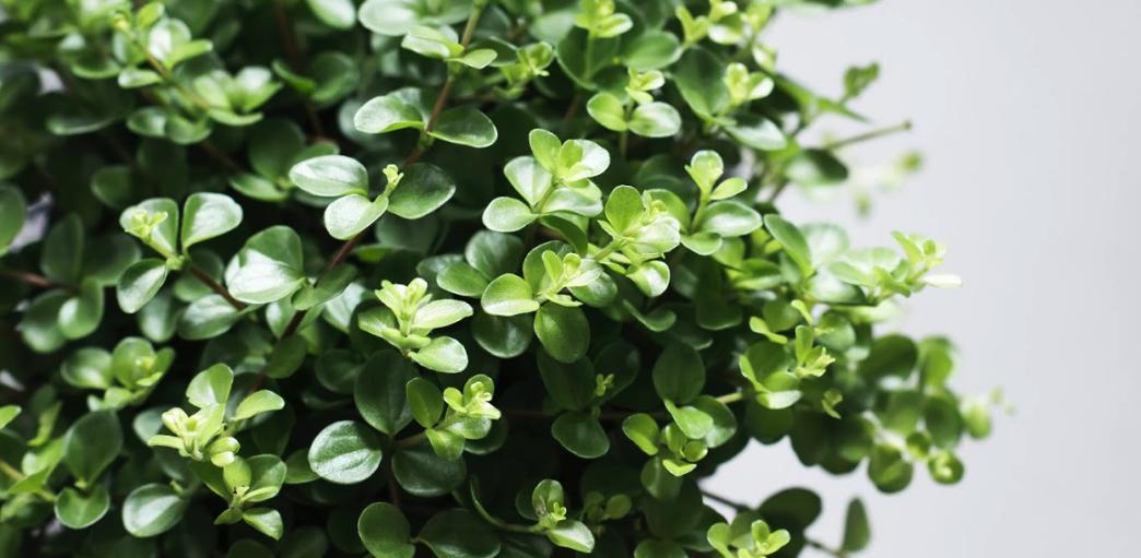 Bloeiende Vetplanten Voor Buiten.Vetplanten Handige Plantengids Fleurdirect