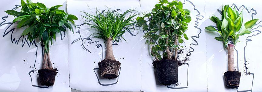 Kamerbomen, woonplanten van januari