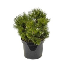 Pinus nigra nana