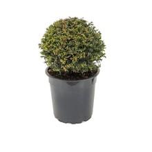Taxus baccata Bol