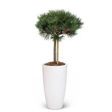 Elho Pinus nigra In Elho Pure