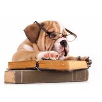 TSS-Nijkerk Engelse Bulldog