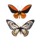 Opgezette vlinders in lijst