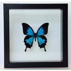 Opgezette vlinders in dubbelglas lijst