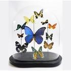 Antiek glazen stolp met verschillende opgezette vlinders