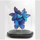 Stolp met opgezette morpho vlinders - 3