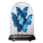 Unieke stolp met opgezette Morpho vlinders - 4