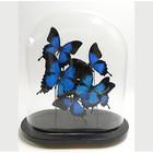 Papilio ulysses vlinders in glazen stolp - 2