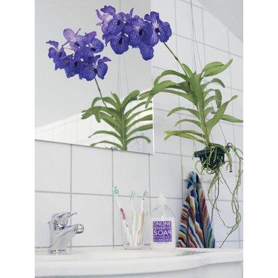 Vanda Magic royal blue 100 cm