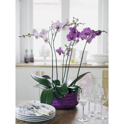 Phalaenopsis 2 Zweig gestreift (Schmetterlings-Orchidee)