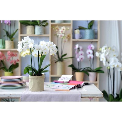 Phalaenopsis 4 branch willd white pink in white ornamental pot