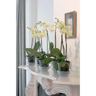 Phalaenopsis 2 Zweig 70 cm Großblütige weiß mindestens 15 Blüten.