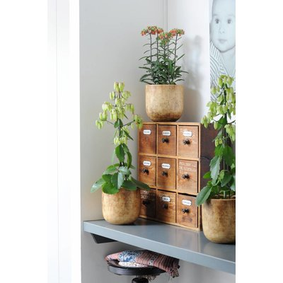 Kalanchoë Magic Bell (botanique)