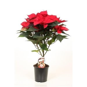 Poinsettia (Christmas star) red, 5-6 screens