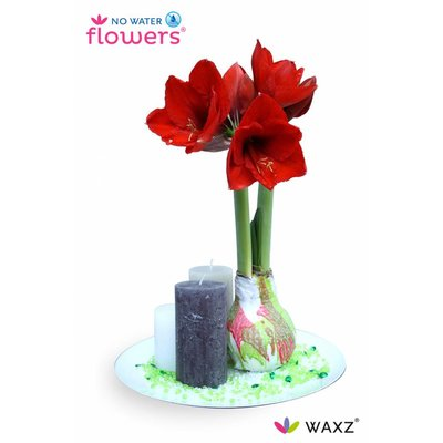 Amaryllis Velvet Touch Wijnrood (No Water Flowers)