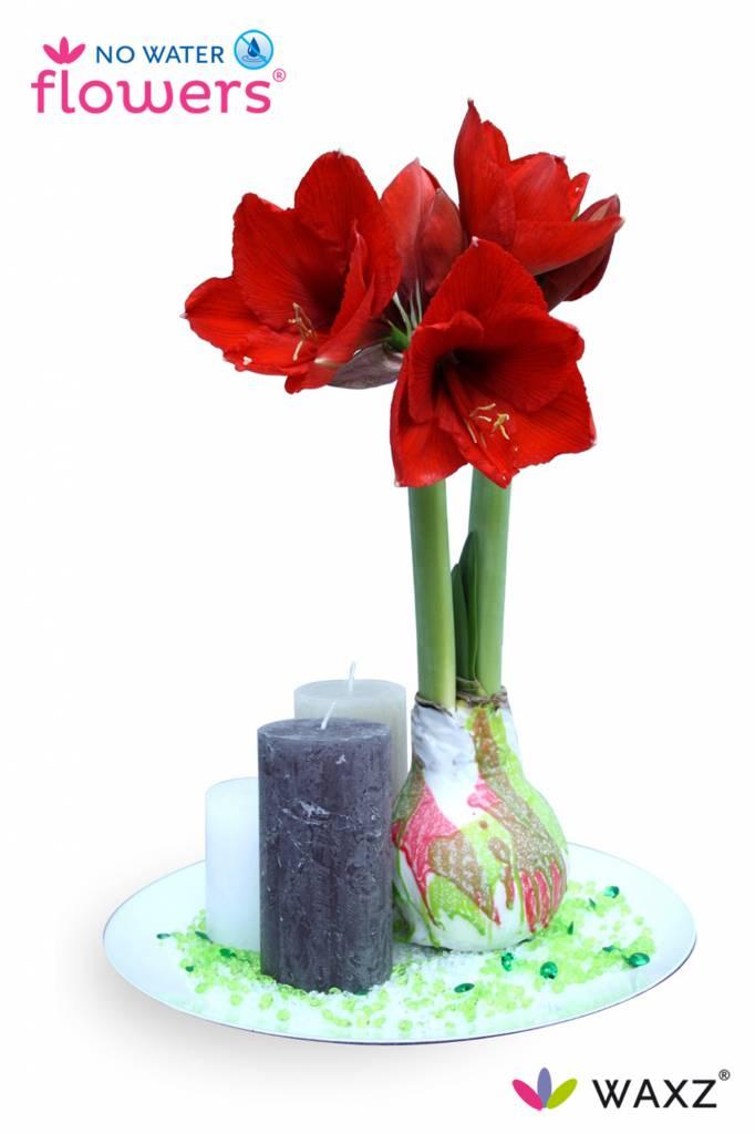 amaryllis wax bulb valentine florastore. Black Bedroom Furniture Sets. Home Design Ideas