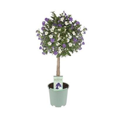 Solanum twin color (white & blue)