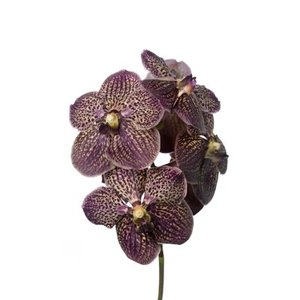 Vanda Sunanda Chocolete Dark Brown