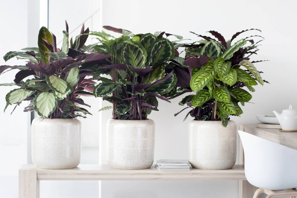 calathea ornata sanderiana florastore. Black Bedroom Furniture Sets. Home Design Ideas