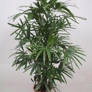 Shade Pflanzen