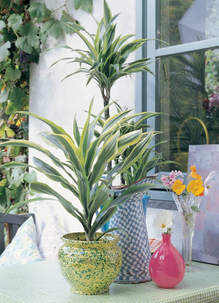 Dracaena lemon lime bontbladige volle kamerplant florastore for Interior y exterior en ingles