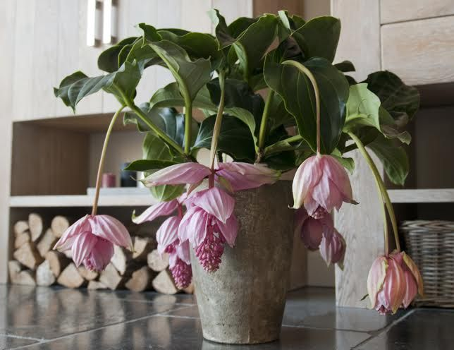 medinilla magnifica for home or office florastore