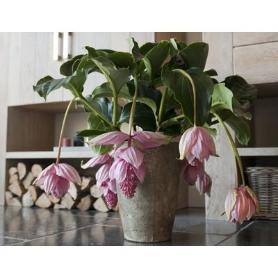 Medinilla magnifica with 6 buttons in Gift Case