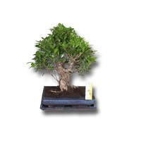 bonsai ficus cascade 80 cm florastore. Black Bedroom Furniture Sets. Home Design Ideas