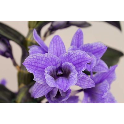 Dendrobium Nobilé, Colour '' Purple 'second branch