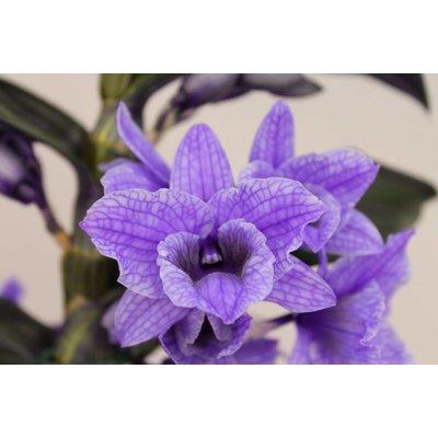 Dendrobium Nobilé, Farbe '' Purple 'zweite Zweig