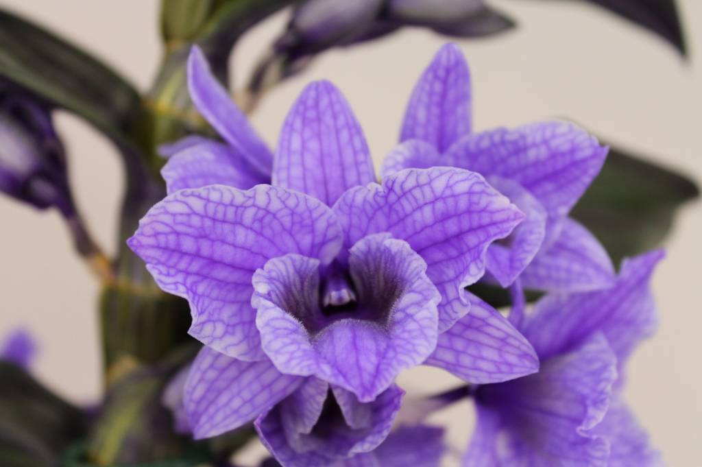 dendrobium nobil colour 39 39 purple 39 second branch florastore. Black Bedroom Furniture Sets. Home Design Ideas